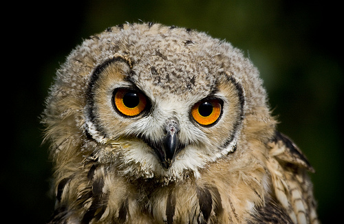 フリー画像| 動物写真| 鳥類| 猛禽類| 梟/フクロウ| ベンガルワシミミズク| 雛/ヒナ|     フリー素材|