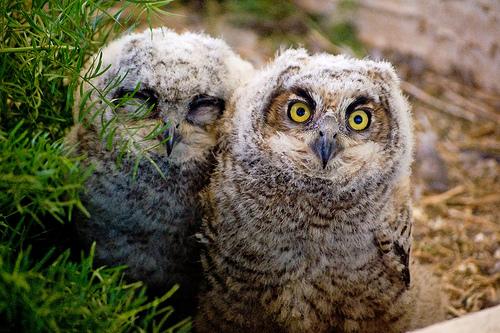 フリー画像| 動物写真| 鳥類| 猛禽類| 梟/フクロウ| アメリカワシミミズク| 雛/ヒナ|     フリー素材|