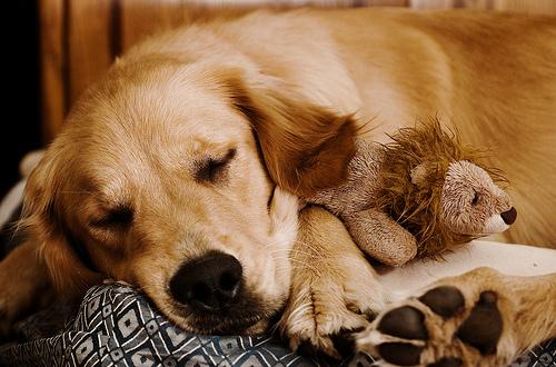 フリー画像| 動物写真| 哺乳類| イヌ科| 犬/イヌ| ゴールデン・レトリバー| 寝顔/寝相/寝姿|     フリー素材|