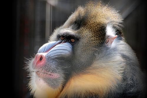 フリー画像| 動物写真| 哺乳類| 猿/サル| マンドリル|       フリー素材|