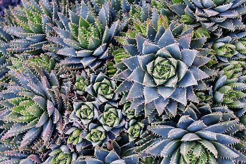 フリー画像| 植物| サボテン|         フリー素材|