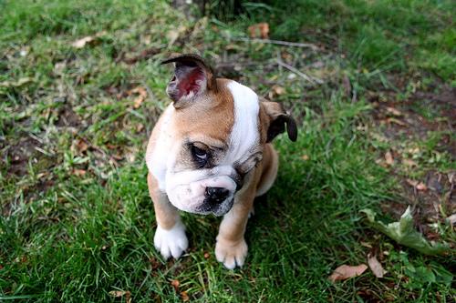 フリー画像| 動物写真| 哺乳類| イヌ科| 犬/イヌ| 子犬| ブルドッグ|     フリー素材|