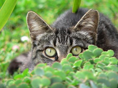フリー画像| 動物写真| 哺乳類| ネコ科| 猫/ネコ| 覗く/見る| キジトラ|     フリー素材|