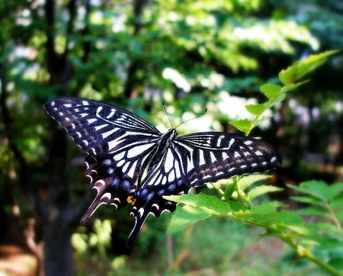 フリー画像| 節足動物| 昆虫| 蝶/チョウ| アゲハ蝶/アゲハチョウ| ナミアゲハ|      フリー素材|