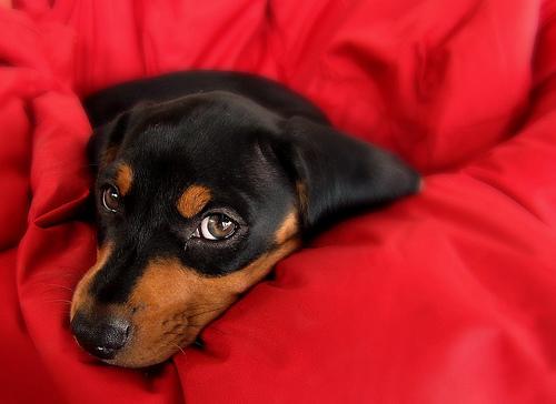 フリー画像| 動物写真| 哺乳類| イヌ科| 犬/イヌ| ミニチュアダックスフンド|      フリー素材|