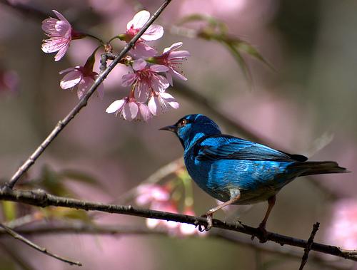 フリー画像| 動物写真| 鳥類| 野鳥| ヒワミツドリ| 青い鳥| 桜/サクラ|     フリー素材|