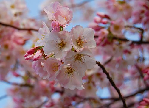 フリー画像| 花/フラワー| 桜/サクラ| ピンク/花|        フリー素材|