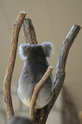 フリー画像| 動物写真| 哺乳類| コアラ|        フリー素材|