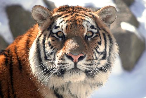 フリー画像|動物写真|哺乳類|ネコ科|虎/トラ|フリー素材|