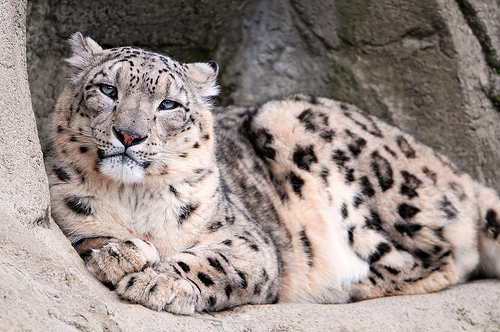 フリー画像| 動物写真| 哺乳類| 豹/ヒョウ| 雪豹|       フリー素材|
