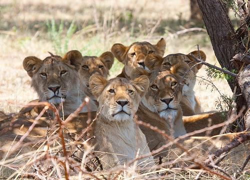 フリー画像| 動物写真| 哺乳類| ネコ科| ライオン|       フリー素材|