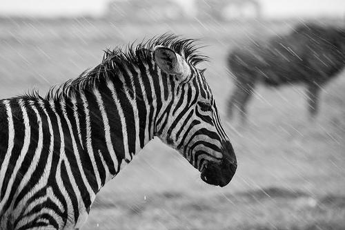 フリー画像| 動物写真| 哺乳類| 馬/ウマ| シマウマ| モノクロ写真| 雨の風景|     フリー素材|