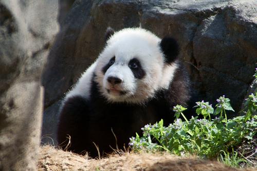 フリー画像| 動物写真| 哺乳類| パンダ|        フリー素材|