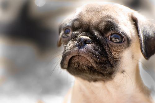 フリー画像| 動物写真| 哺乳類| イヌ科| 犬/イヌ| パグ| 子犬|     フリー素材|