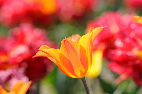 フリー画像| 花/フラワー| チューリップ| オレンジ/花|        フリー素材|