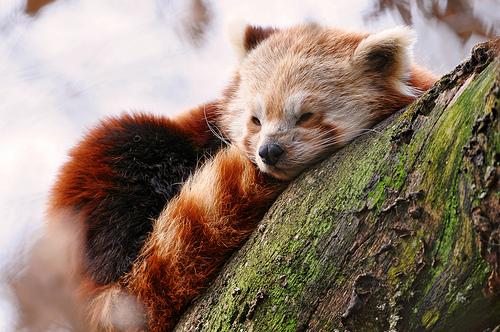 フリー画像| 動物写真| 哺乳類| レッサーパンダ| 寝顔/寝相/寝姿|       フリー素材|