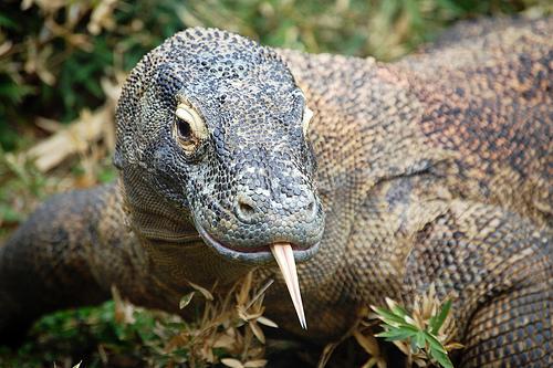 フリー画像| 動物写真| は虫類| コモドドラゴン| トカゲ|       フリー素材|