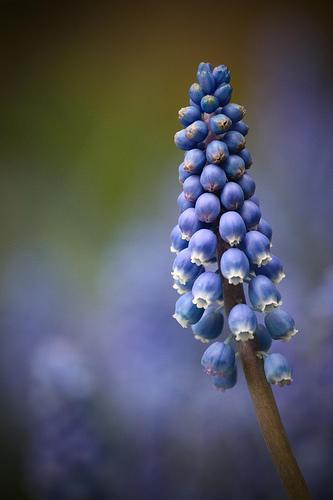 フリー画像| 花/フラワー| ムスカリ| 青色/ブルー| ブルー/花|       フリー素材|