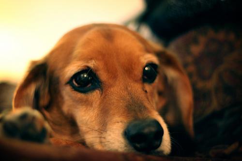 フリー画像  動物写真  哺乳類  イヌ科  犬/イヌ  ビーグル犬       フリー素材 