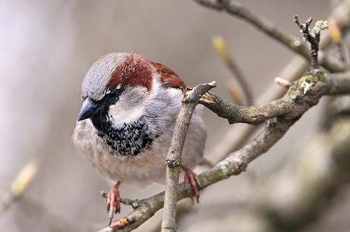 フリー画像| 動物写真| 鳥類| 野鳥| 雀/スズメ|       フリー素材|