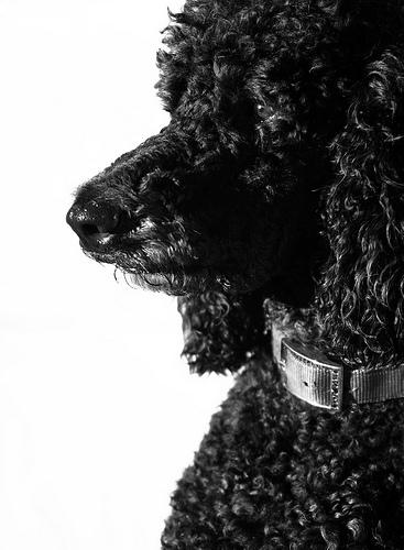 フリー画像| 動物写真| 哺乳類| イヌ科| 犬/イヌ| スタンダード・プードル| モノクロ写真|     フリー素材|