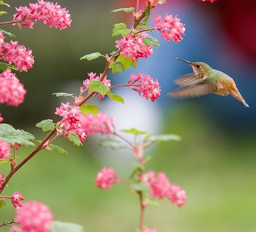 フリー画像| 動物写真| 鳥類| 野鳥| ハチドリ/ハミングバード| 花/フラワー|      フリー素材|