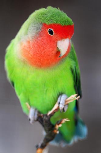 フリー画像| 動物写真| 鳥類| インコ科| ボタンインコ/ラブバード|       フリー素材|