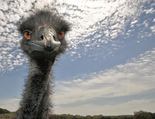 フリー画像  動物写真  鳥類  エミュー         フリー素材 