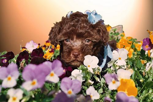 フリー画像| 動物写真| 哺乳類| イヌ科| 犬/イヌ| トイ・プードル| 子犬| 花畑|    フリー素材|