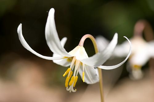 フリー画像| 花/フラワー| カタクリ| ホワイト/花|        フリー素材|