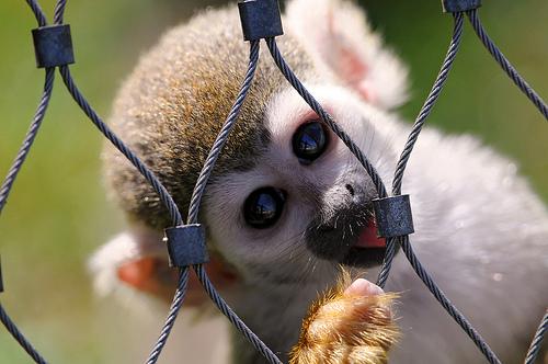 フリー画像| 動物写真| 哺乳類| 猿/サル| 小動物| リスザル|      フリー素材|