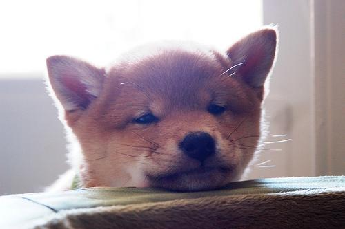 フリー画像| 動物写真| 哺乳類| イヌ科| 犬/イヌ| 子犬| 柴犬/シバイヌ|     フリー素材|