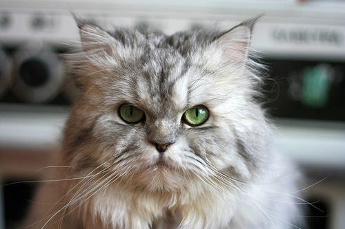 フリー画像| 動物写真| 哺乳類| ネコ科| 猫/ネコ| ペルシャ猫|      フリー素材|