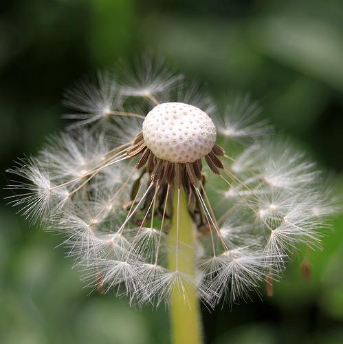 フリー画像  植物  たんぽぽ/タンポポ  綿毛         フリー素材 