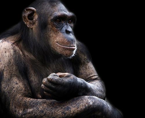 フリー画像| 動物写真| 哺乳類| 猿/サル| チンパンジー| 黒色/ブラック|      フリー素材|
