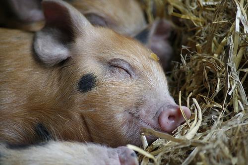 フリー画像|動物写真|哺乳類|豚/ブタ|子豚|寝顔/寝相/寝姿|フリー素材|