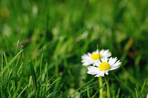 フリー画像| 花/フラワー| ヒナギク/デイジー| ホワイト/花| 緑色/グリーン|       フリー素材|
