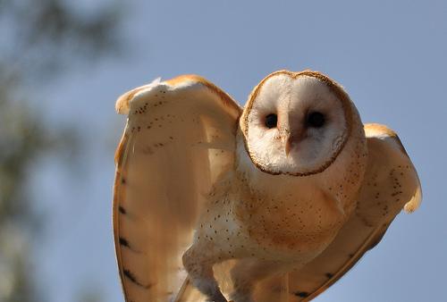 フリー画像| 動物写真| 鳥類| 猛禽類| 梟/フクロウ| メンフクロウ|      フリー素材|