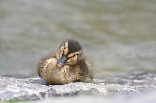 フリー画像| 動物写真| 鳥類| 鴨/カモ| 雛/ヒナ| 笑顔/スマイル|      フリー素材|