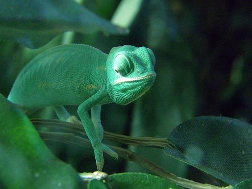 フリー画像| 動物写真| は虫類| カメレオン| 緑色/グリーン|       フリー素材|