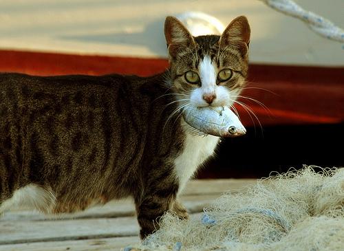 フリー画像| 動物写真| 哺乳類| ネコ科| 猫/ネコ| 魚類|      フリー素材|