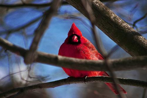フリー画像  動物写真  鳥類  野鳥  ショウジョウコウカンチョウ        フリー素材 