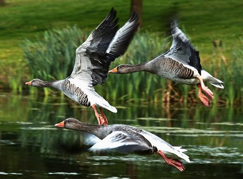 フリー画像| 動物写真| 鳥類| 野鳥| 雁/ガン| ハイイロガン|      フリー素材|