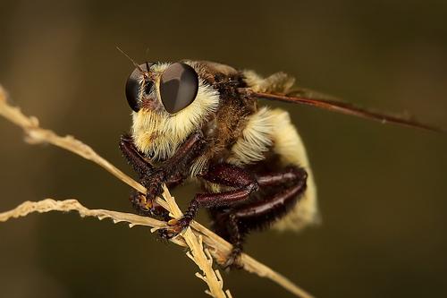 フリー画像| 節足動物| 昆虫| 蝿/ハエ| 泥棒バエ|       フリー素材|