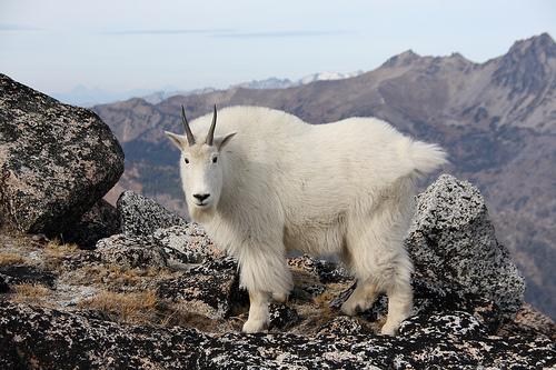 フリー画像| 動物写真| 哺乳類| 山羊/ヤギ| カシミアヤギ|       フリー素材|