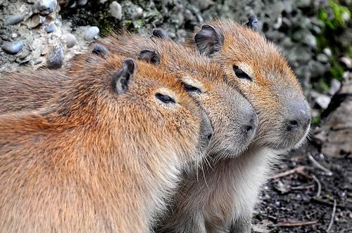 フリー画像| 動物写真| 哺乳類| ネズミ上科| カビパラ|       フリー素材|