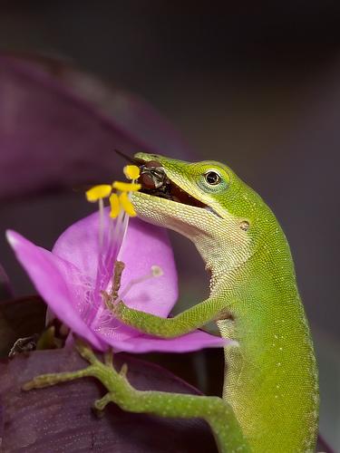 フリー画像| 動物写真| は虫類| トケゲ| アノールトカゲ| 蝿/ハエ|      フリー素材|
