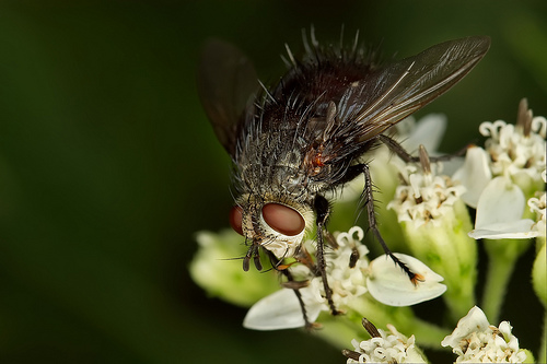 フリー画像| 節足動物| 昆虫| 蝿/ハエ|        フリー素材|