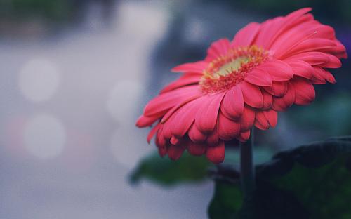 フリー画像| 花/フラワー| ピンク/花|         フリー素材|