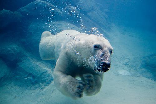 フリー画像| 動物写真| 哺乳類| 熊/クマ| 白くま/シロクマ|       フリー素材|